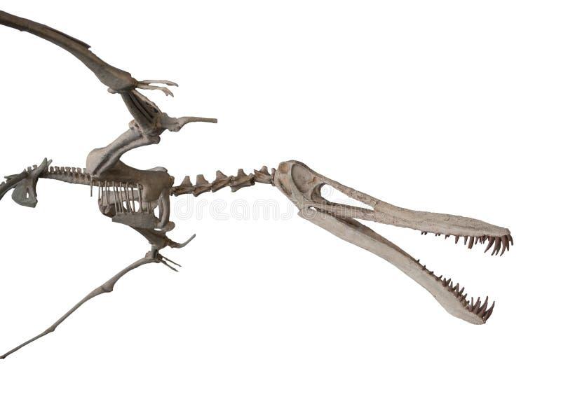 Ο σκελετός pterodactylus στο λευκό, που απομονώνεται στοκ εικόνες με δικαίωμα ελεύθερης χρήσης