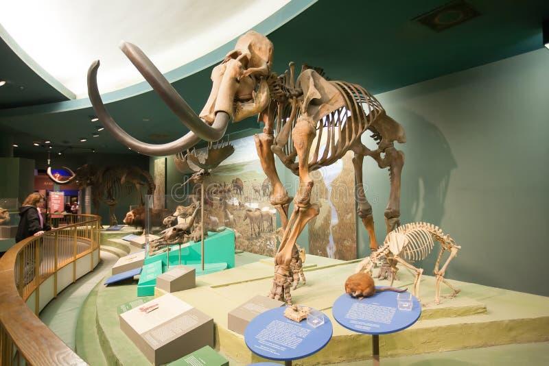 Ο σκελετός ενός μαμούθ στο μουσείο φυσικής ιστορίας, WASHINGTON DC, ΗΠΑ στοκ εικόνα