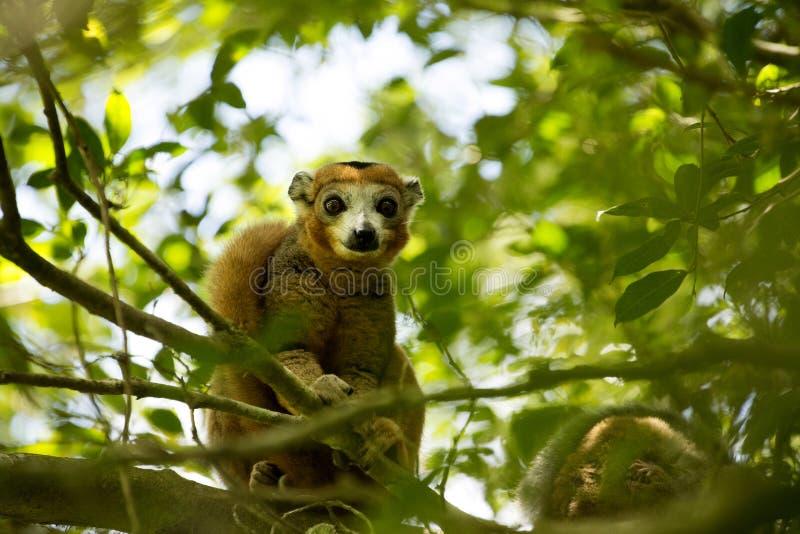 Ο στεμμένος κερκοπίθηκος, coronatus Eulemur, είναι σχεδόν αόρατος στα δέντρα, ηλέκτρινο βουνό, Μαδαγασκάρη στοκ εικόνα με δικαίωμα ελεύθερης χρήσης