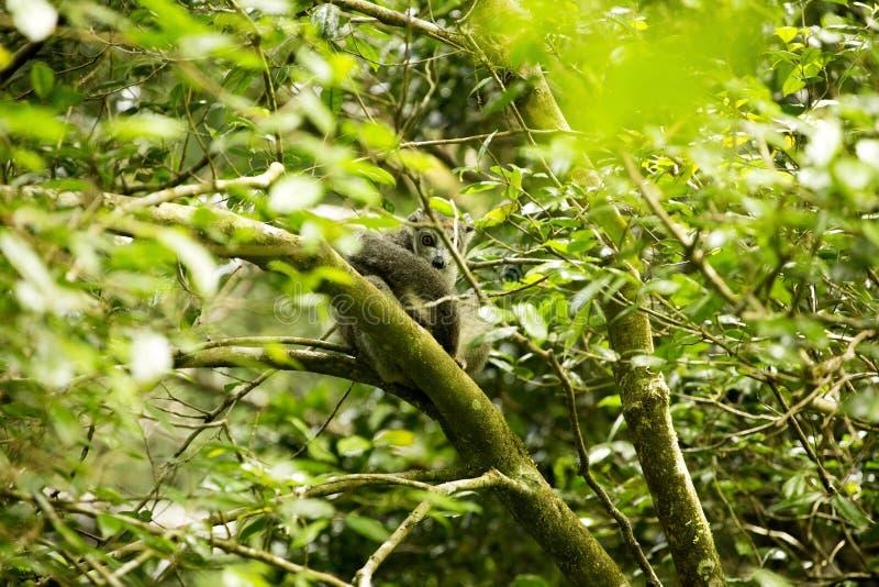 Ο στεμμένος κερκοπίθηκος, coronatus Eulemur, είναι σχεδόν αόρατος στα δέντρα, ηλέκτρινο βουνό, Μαδαγασκάρη στοκ φωτογραφία