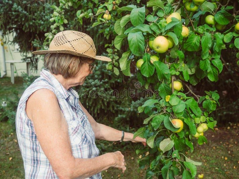 Ο συνταξιούχος εξετάζει τα μήλα της στον κήπο της στοκ εικόνες