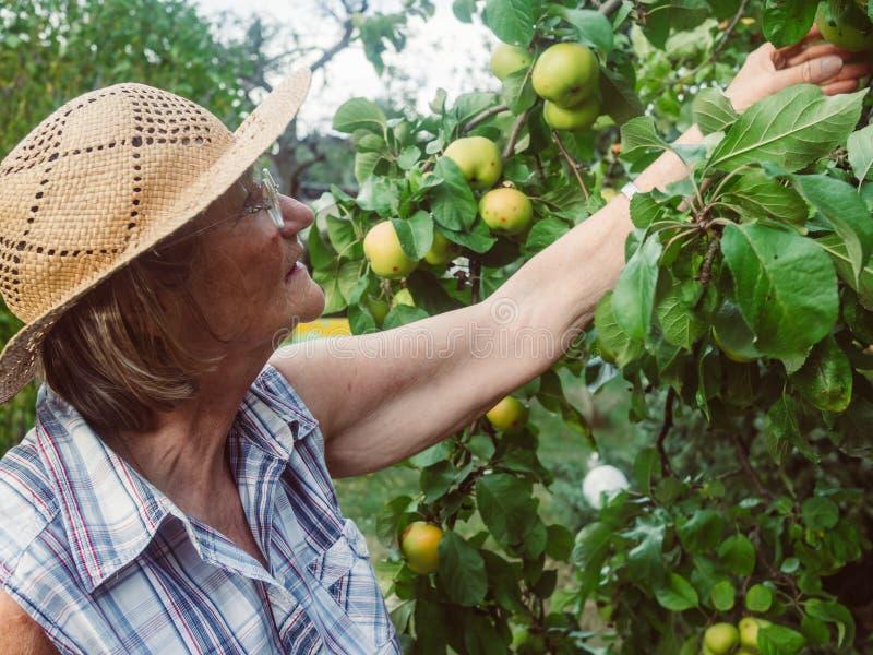 Ο συνταξιούχος εξετάζει τα μήλα της στον κήπο της στοκ φωτογραφία με δικαίωμα ελεύθερης χρήσης