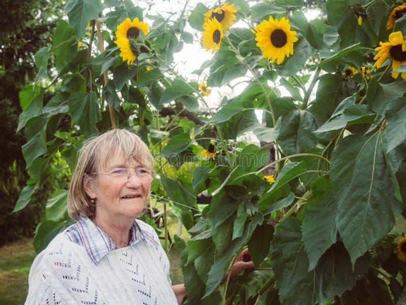Ο συνταξιούχος εξετάζει τους ηλίανθούς της στον κήπο της στοκ φωτογραφίες