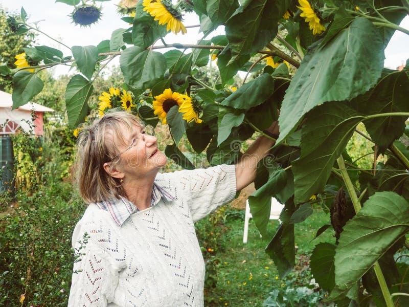 Ο συνταξιούχος εξετάζει τους ηλίανθούς της στον κήπο της στοκ φωτογραφία με δικαίωμα ελεύθερης χρήσης