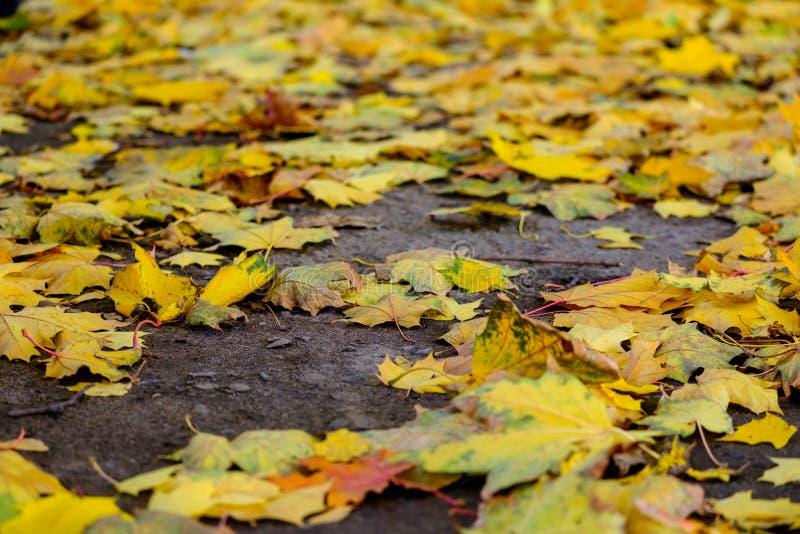 Ο σφένδαμνος βγάζει φύλλα στο έδαφος στοκ φωτογραφία με δικαίωμα ελεύθερης χρήσης