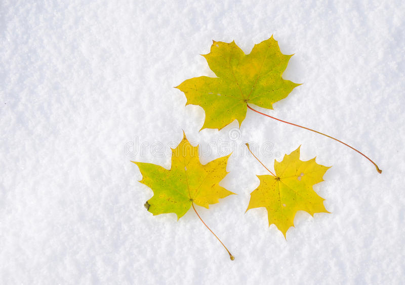 Ο σφένδαμνος βγάζει φύλλα στο χιόνι στοκ εικόνες