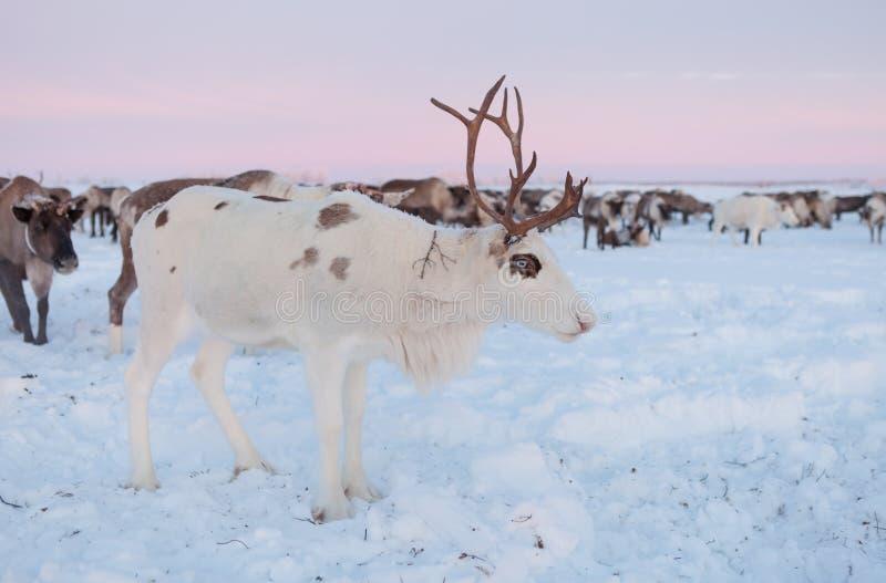 Ο τάρανδος στα herders ταράνδων Nenets στρατοπεδεύει στοκ εικόνα