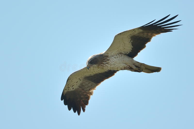 Ο τεθειμένος σε έναρξη αετός (pennata Aquila) στοκ φωτογραφίες με δικαίωμα ελεύθερης χρήσης