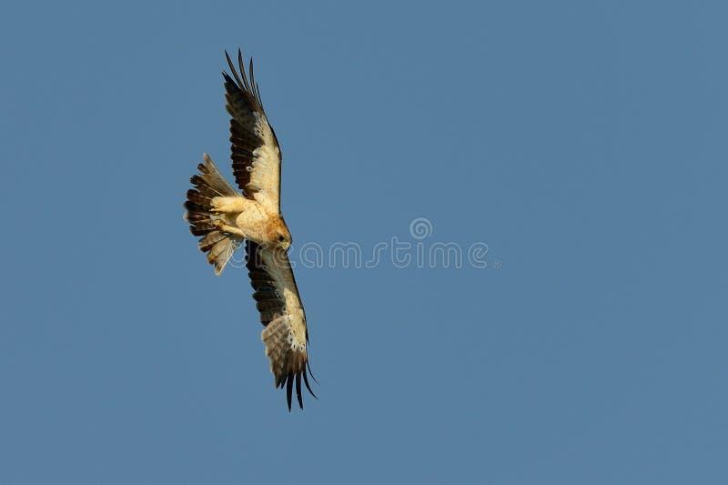 Ο τεθειμένος σε έναρξη αετός (pennata Aquila) στοκ φωτογραφία