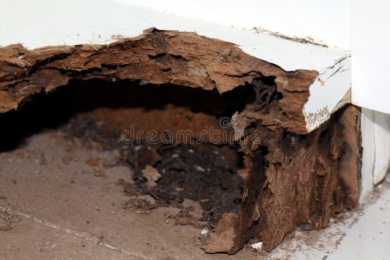 Ο τερμίτης φωλιών, υπόβαθρο του τερμίτη φωλιών, έβλαψε ξύλινο πουφαγώθηκε από τον τερμίτη ή την άσπρη εκλεκτική εστίαση μυρμηγκιώ στοκ φωτογραφία με δικαίωμα ελεύθερης χρήσης