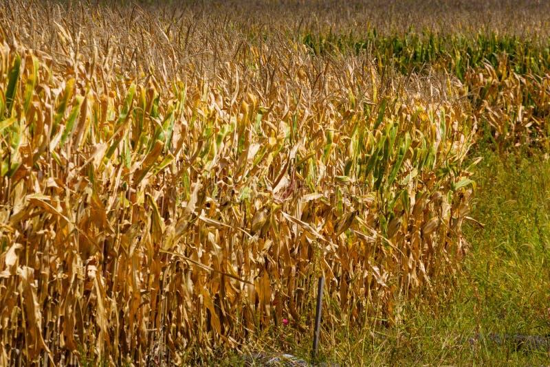 Ο τομέας καλαμποκιού πλησιάζει στο χρόνο συγκομιδών μια ηλιόλουστη ημέρα στοκ εικόνα