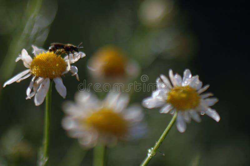 Ο τομέας λουλουδιών chamomile μετά από τη βροχή στις ακτίνες του ήλιου ρύθμισης δημιουργεί τις αρχικές συστάσεις στοκ εικόνες