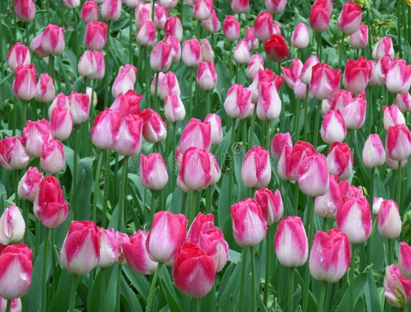 Ο τομέας τουλιπών πλημμυρίζει την άνοιξη!! Δέσμη των ανθίζοντας ζωηρών ρόδινων και άσπρων δίχρωμων λουλουδιών τουλιπών με τις στα στοκ εικόνα με δικαίωμα ελεύθερης χρήσης