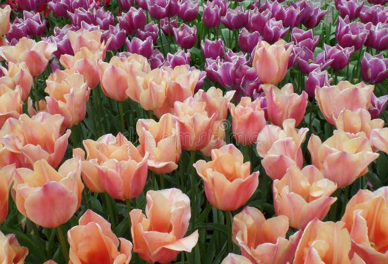 Ο τομέας τουλιπών του ροζ κρητιδογραφιών με τα ανοικτό πορτοκαλί και ροδανιλίνης ανθίζοντας λουλούδια, κήπος ανοίξεων στις Κάτω Χ στοκ φωτογραφίες