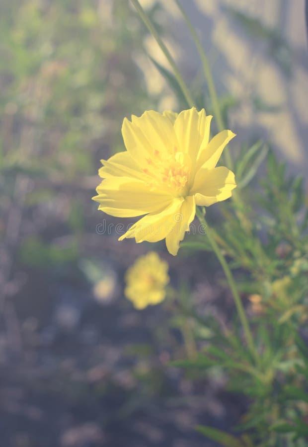 Download Ο τρύγος φιλτράρισε το κίτρινο λουλούδι Στοκ Εικόνα - εικόνα από ανάπτυξη, πεδίο: 62717065