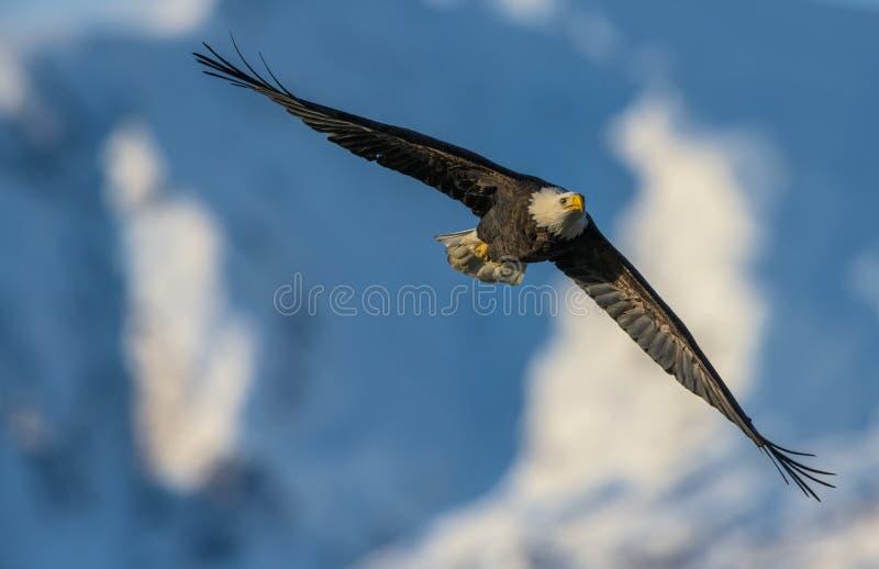 Ο φαλακρός αετός εκτοξεύεται στα ύψη αγνοώντας όλους τους περισπασμούς στοκ εικόνα με δικαίωμα ελεύθερης χρήσης