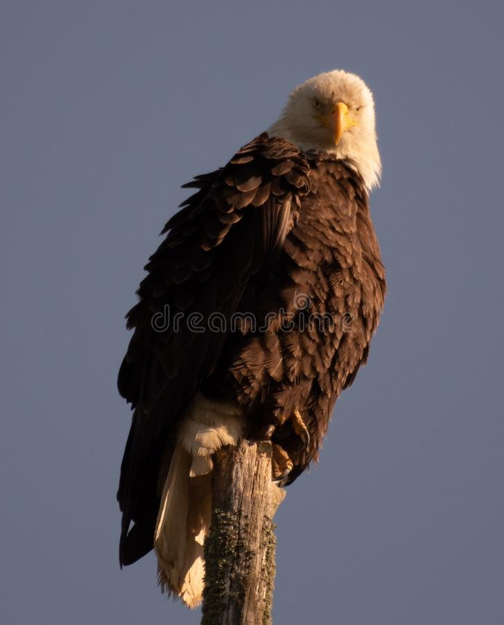 Ο φαλακρός αετός κοιτάζει επίμονα στοκ φωτογραφία με δικαίωμα ελεύθερης χρήσης