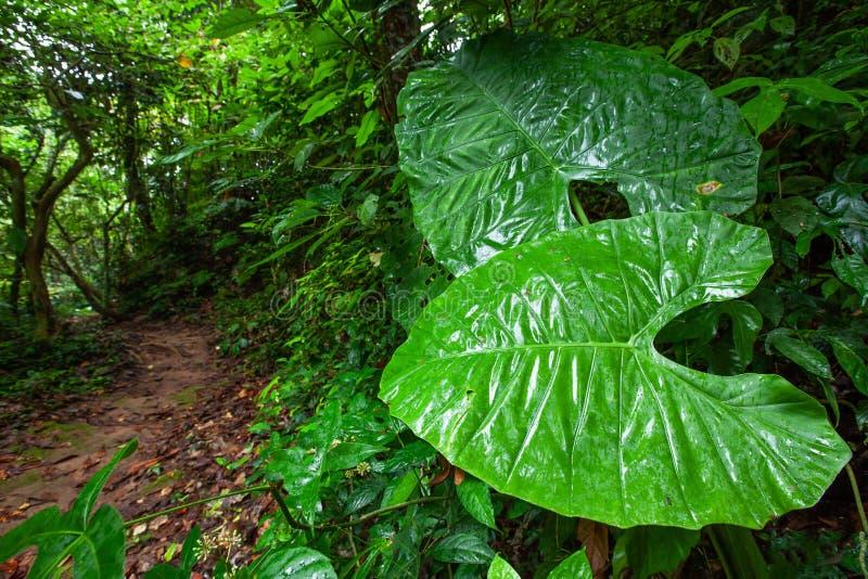 Ο φανταστικός γίγαντας αφήνει μια πορεία εκτός από το ίχνος φύσης στο τροπικό δάσος, την επιφάνεια τέχνης και τη μορφή των πολύβλ στοκ εικόνες