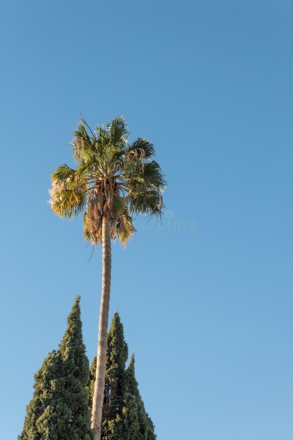 Ο φοίνικας ανεμιστήρων Washingtonia μεταξύ δύο ιταλικών δέντρων κυπαρισσιών, που απομονώθηκαν ενάντια σε έναν σαφή μπλε ουρανό στοκ εικόνες