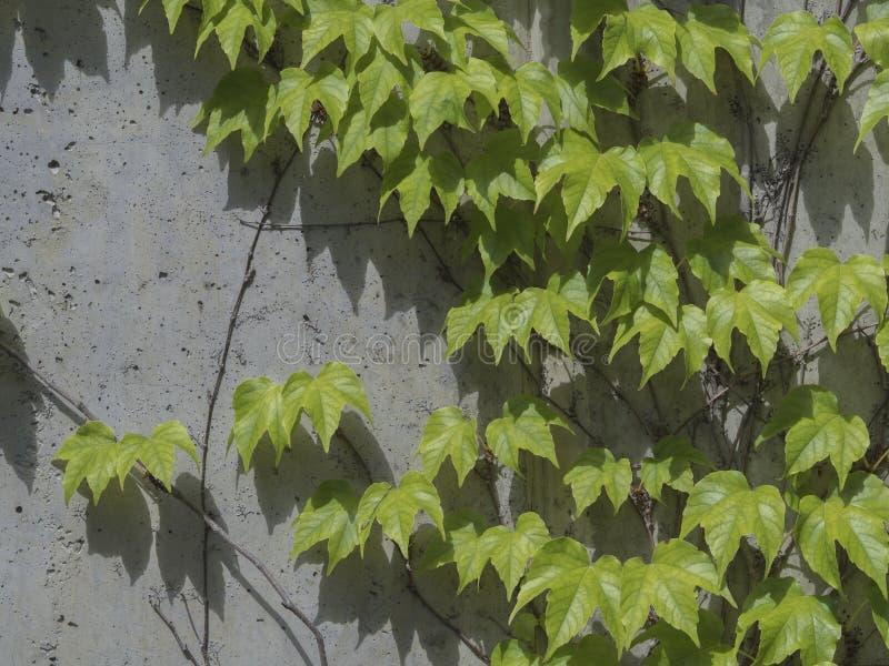 Ο φρέσκος πολύβλαστος πράσινος κισσός αναρριχείται σε έναν συγκεκριμένο διακοσμητικό τοίχο στοκ εικόνες