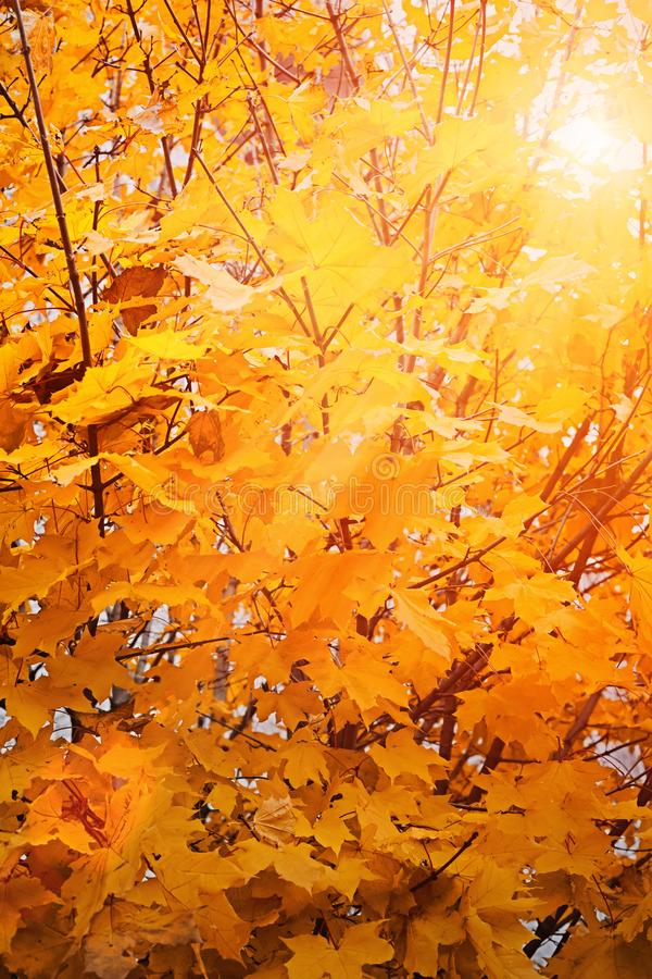 Ο φωτεινός ήλιος φθινοπώρου λάμπει μέσω των κίτρινων φύλλων στοκ εικόνες