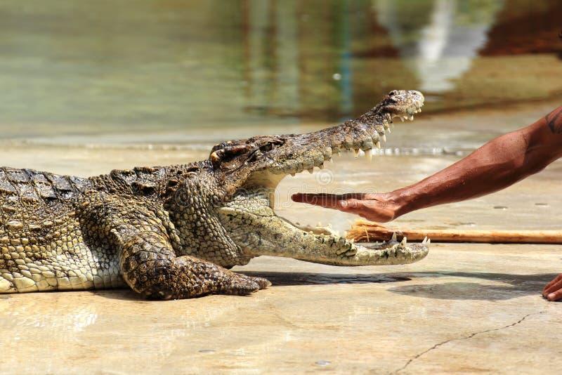 Ο φύλακας ζωολογικών κήπων στην Ταϊλάνδη έβαλε το χέρι του στα σαγόνια ενός κροκοδείλου στοκ φωτογραφία με δικαίωμα ελεύθερης χρήσης