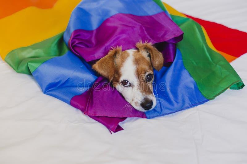 Ο χαριτωμένος γρύλος Russell σκυλιών τύλιξε στη σημαία ουράνιων τόξων LGBT στο άσπρο κρεβάτι στην κρεβατοκάμαρα Ο μήνας υπερηφάνε στοκ φωτογραφία με δικαίωμα ελεύθερης χρήσης