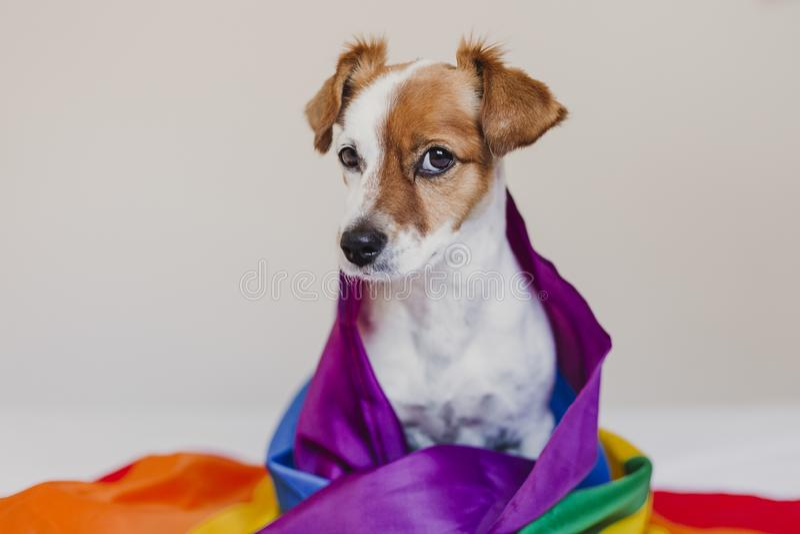 Ο χαριτωμένος γρύλος Russell σκυλιών τύλιξε στη σημαία ουράνιων τόξων LGBT στο άσπρο κρεβάτι στην κρεβατοκάμαρα Ο μήνας υπερηφάνε στοκ εικόνες