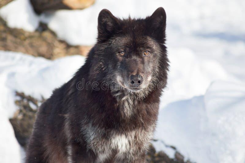 Ο χαριτωμένος μαύρος καναδικός λύκος κάθεται σε ένα άσπρο χιόνι o Pambasileus Λύκου Canis στοκ εικόνα