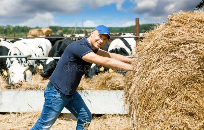 Ο χαρούμενος αγρότης σε ένα αγρόκτημα μεταξύ των αγελάδων ωθεί έναν ρό στοκ φωτογραφία με δικαίωμα ελεύθερης χρήσης