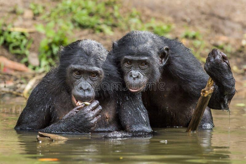 Ο χιμπατζής Bonobos στο νερό Το bonobo (παν paniscus) στοκ φωτογραφίες