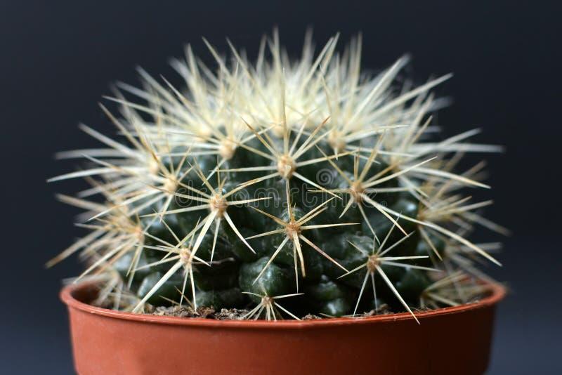 Ο χρυσή κάκτος ή η μητέρα σφαιρών βαρελιών Grusonii Echinocactus στο νόμο μειώνει στο δοχείο λουλουδιών μπροστά από το σκοτεινό υ στοκ εικόνες