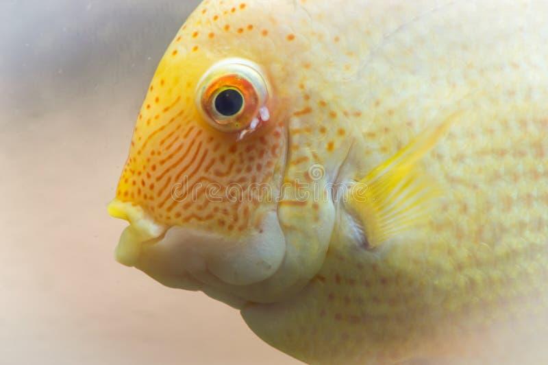 Ο χρυσός παπαγάλος είναι ένα υβρίδιο του Μήδα και του redhead Cichlid Του ένα όμορφο υβριδικό ψάρι στοκ εικόνες