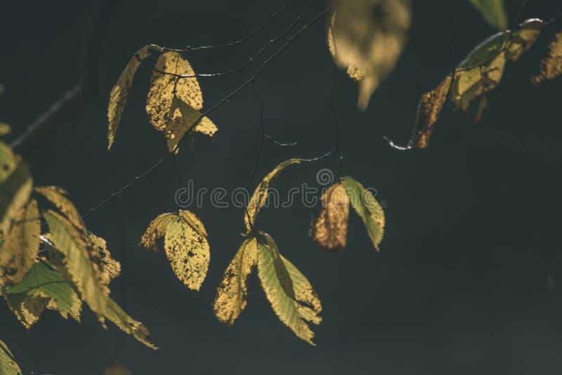 ο χρυσός φθινοπώρου χρωμάτισε τα φύλλα στο φωτεινό φως του ήλιου - εκλεκτής ποιότητας αναδρομικό FI στοκ εικόνες
