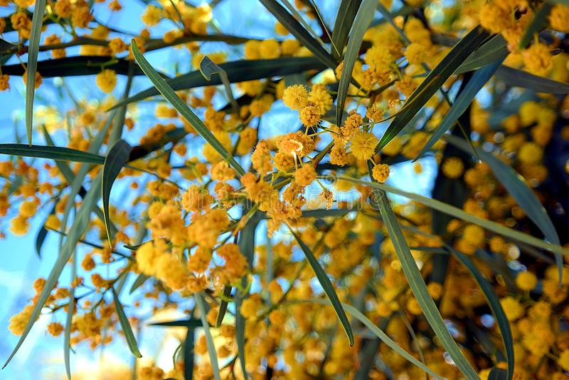 Ο χρόνος άνοιξη άνοιξε τα κίτρινα λουλούδια στοκ εικόνες