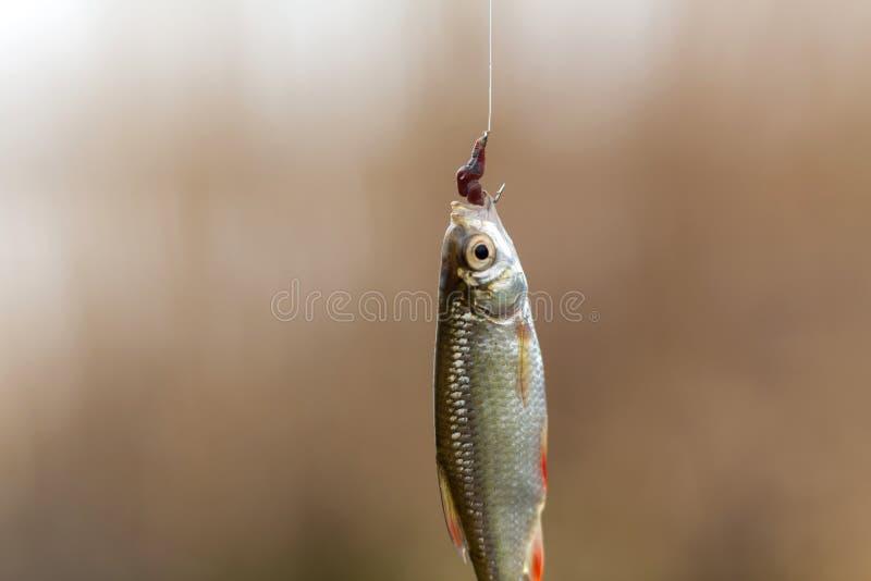 Ο ψαράς επίασε ένα μικρό ψάρι στο γάντζο με ένα σκουλήκι στοκ φωτογραφία με δικαίωμα ελεύθερης χρήσης