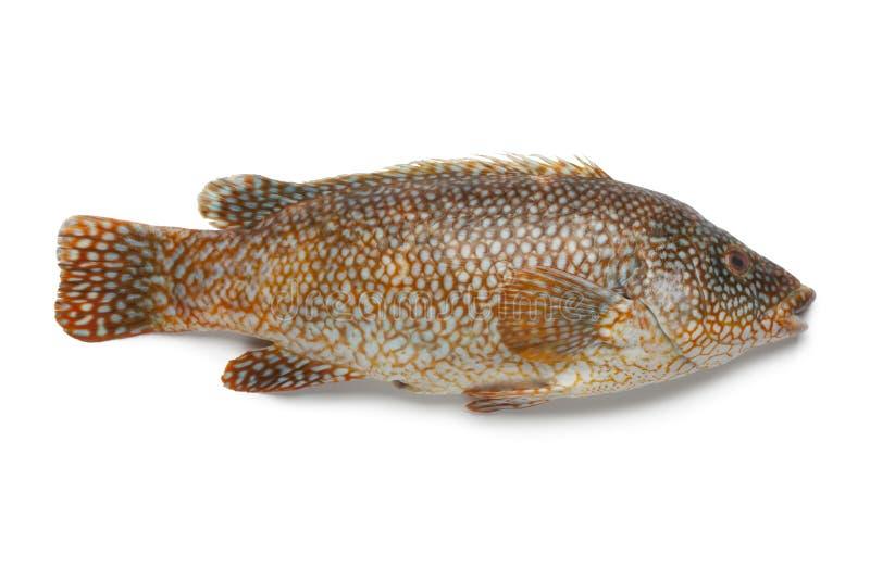 Ολόκληρα κόκκινα grouper ψάρια στοκ φωτογραφίες