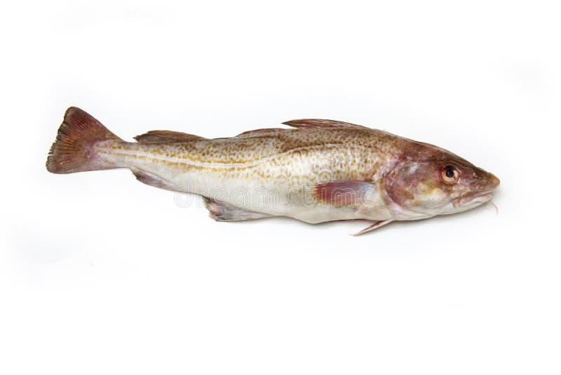 Ολόκληρα ψάρια βακαλάων στοκ εικόνες