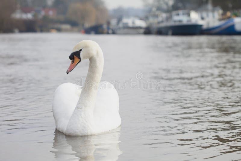 Ο όμορφος και κομψός Κύκνος που κολυμπά επάνω έναν ποταμό στοκ εικόνα με δικαίωμα ελεύθερης χρήσης