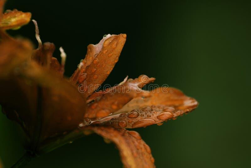 Ο όμορφος κρίνος ανθίζει την ταπετσαρία στοκ φωτογραφίες με δικαίωμα ελεύθερης χρήσης