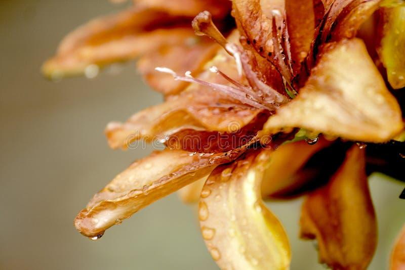 Ο όμορφος κρίνος ανθίζει την ταπετσαρία στοκ εικόνες με δικαίωμα ελεύθερης χρήσης