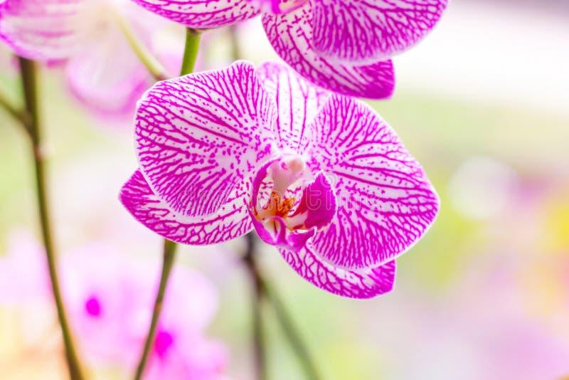 Ο όμορφος τροπικός εξωτικός κλάδος με την άσπρη, ρόδινη και ροδανιλίνης ορχιδέα Phalaenopsis σκώρων ανθίζει την άνοιξη στοκ εικόνα