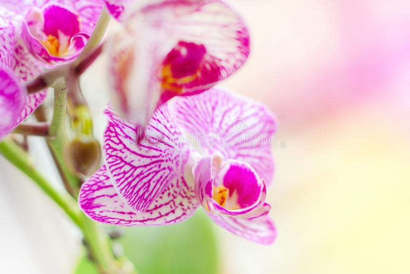 Ο όμορφος τροπικός εξωτικός κλάδος με την άσπρη, ρόδινη και ροδανιλίνης ορχιδέα Phalaenopsis σκώρων ανθίζει την άνοιξη στοκ εικόνες με δικαίωμα ελεύθερης χρήσης