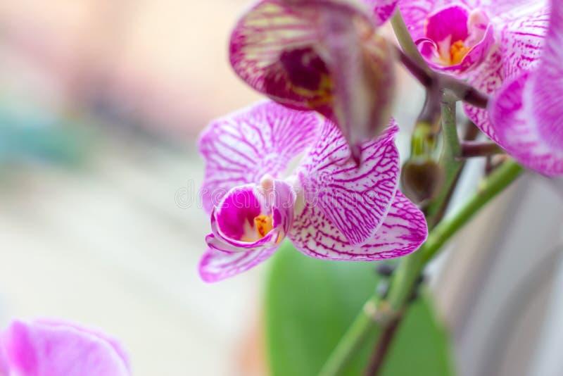 Ο όμορφος τροπικός εξωτικός κλάδος με την άσπρη, ρόδινη και ροδανιλίνης ορχιδέα Phalaenopsis σκώρων ανθίζει το καλοκαίρι στοκ φωτογραφίες με δικαίωμα ελεύθερης χρήσης