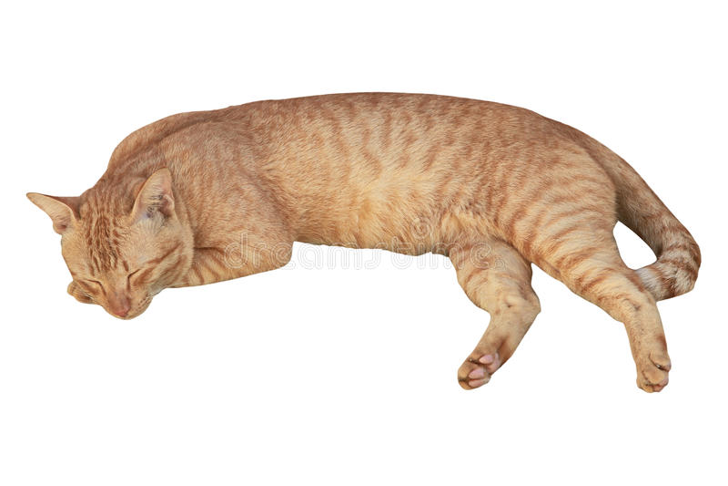 Ο ύπνος γατών σκύβει το απομονωμένο άσπρο υπόβαθρο στοκ εικόνα με δικαίωμα ελεύθερης χρήσης