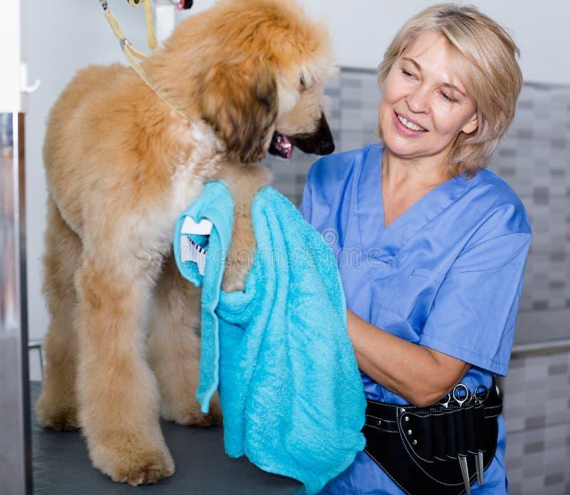 Ο ώριμος κομμωτής γυναικών σκουπίζει το κουτάβι του κυνηγόσκυλου στον κομμωτή για τα σκυλιά στοκ εικόνα