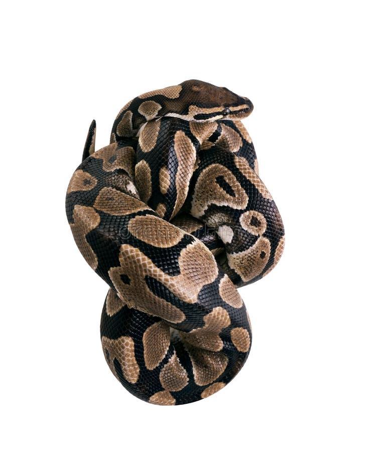 Ο boa Boa σφιγκτήρων σφιγκτήρας Σφιχτά συσκευάζοντας, φίδι π στοκ φωτογραφίες