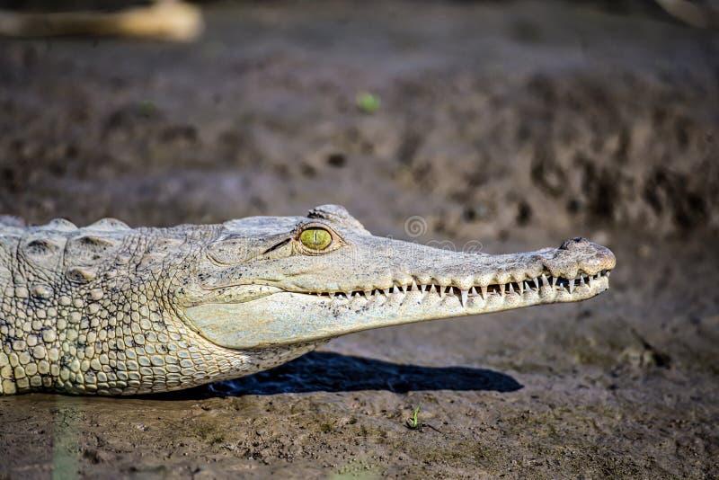 Ο Caiman Crofried αναπαύεται στην όχθη του ποταμού του εθνικού πάρκου Sierpe Mangrove στην άγρια πανίδα της Κόστα Ρίκα στοκ εικόνα με δικαίωμα ελεύθερης χρήσης