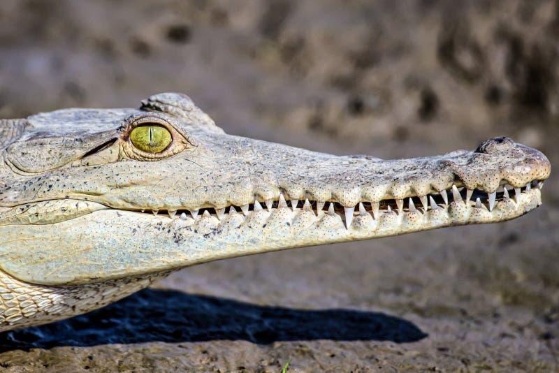 Ο Caiman Crofried αναπαύεται στην όχθη του ποταμού του εθνικού πάρκου Sierpe Mangrove στην άγρια πανίδα της Κόστα Ρίκα στοκ εικόνες