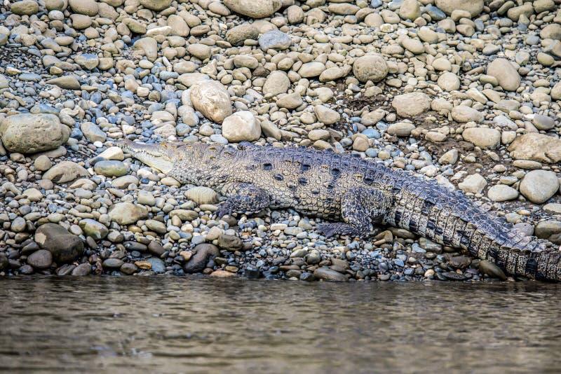 Ο Caiman Crofried αναπαύεται στην όχθη του ποταμού του εθνικού πάρκου Sierpe Mangrove στην άγρια πανίδα της Κόστα Ρίκα στοκ εικόνες με δικαίωμα ελεύθερης χρήσης